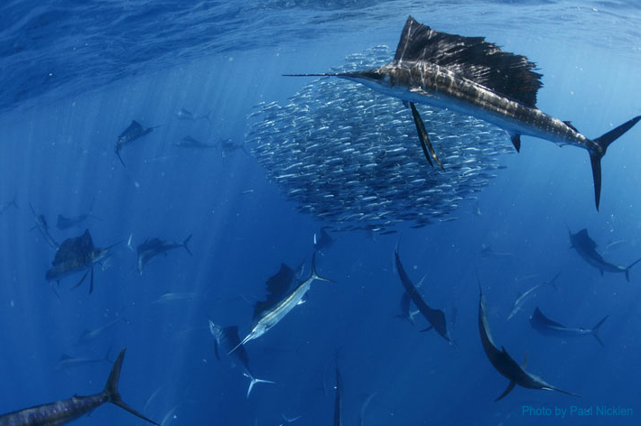 Sailfish encounters with sport fishing center isla mujeres for Isla mujeres fishing